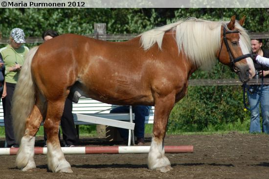 Estonian Draught - gelding Vedur EST (ex. Telder)