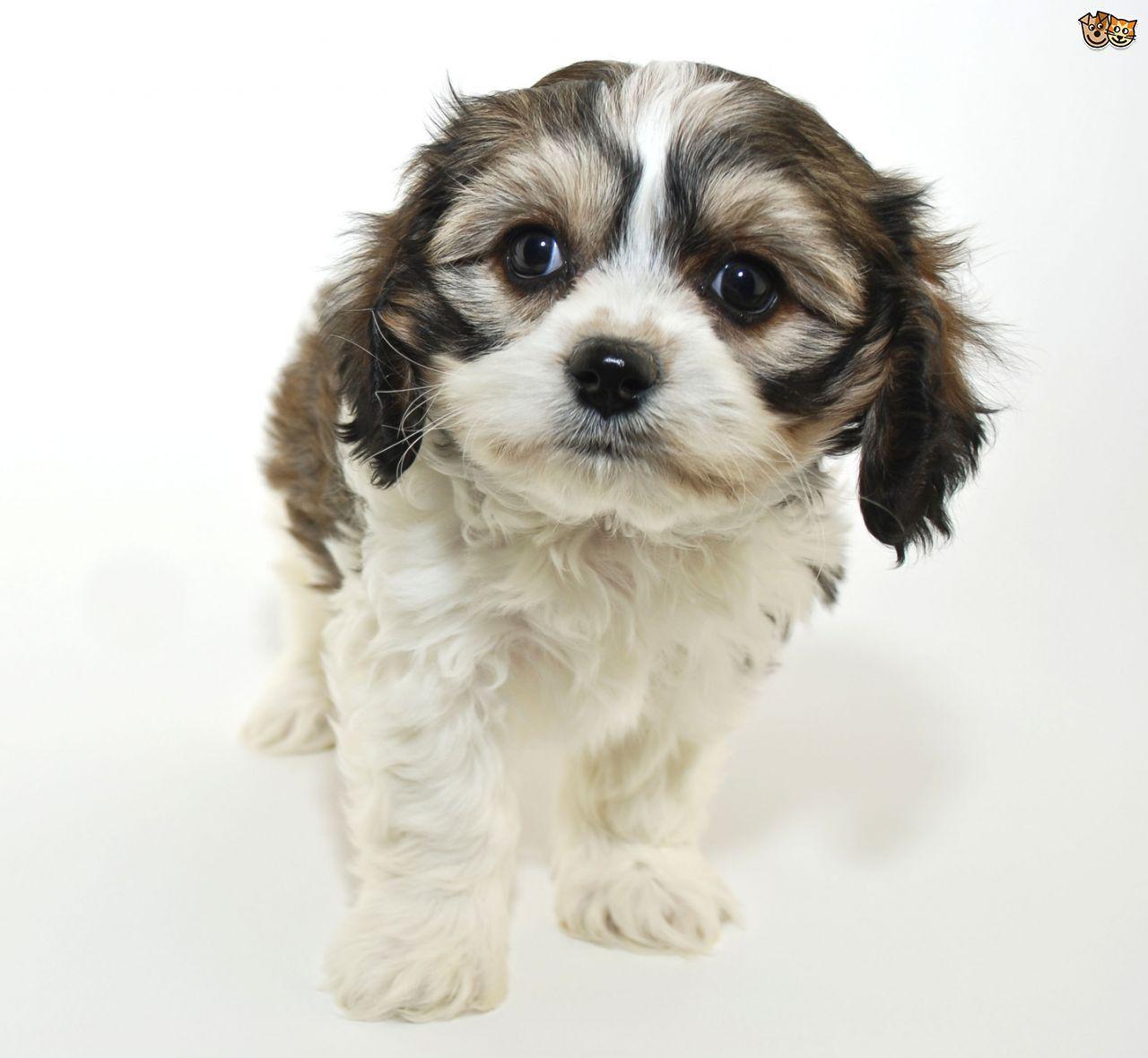 All About The Cavachon Dog Pets4homes Cavachon Puppies Cavachon Cavachon Dog
