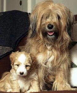 Tibetan Terrier Tibetan Terrier Terrier Unusual Dog Breeds