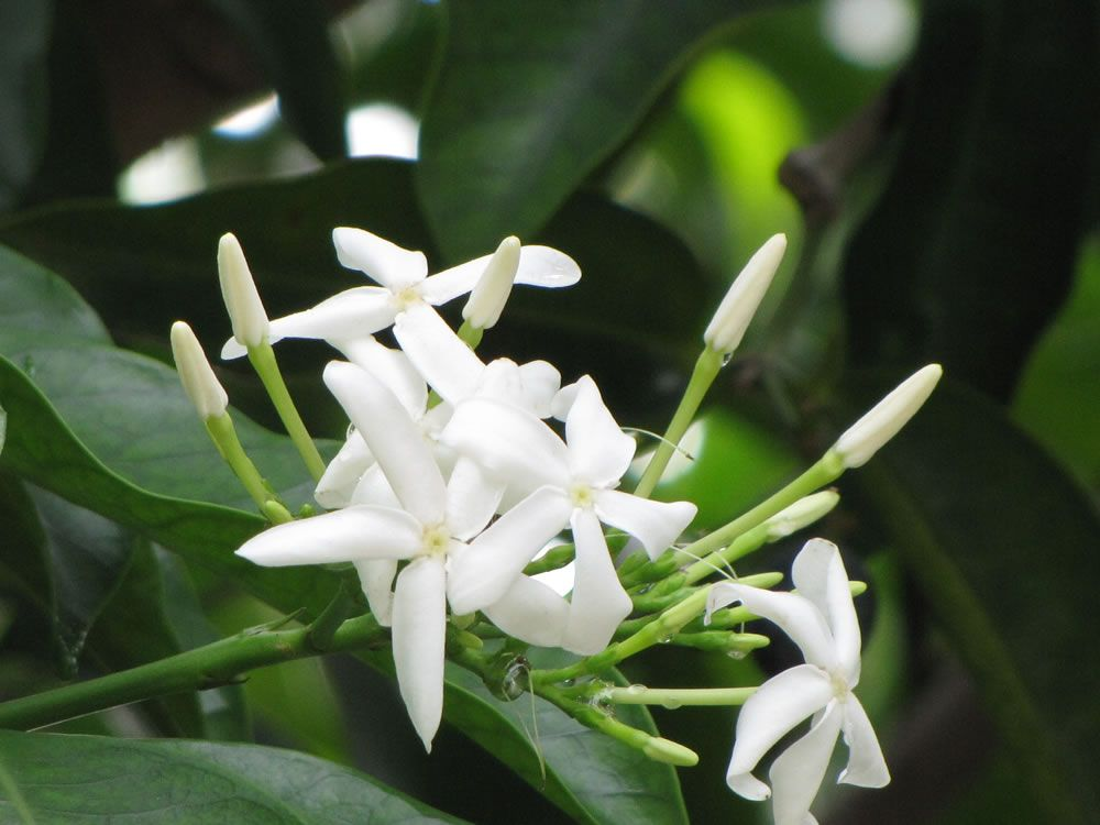 White kospia kopsia arborea fragrant flowers appear most of the fragrant flowers appear most of the year on this dense shrubsmall tree mightylinksfo