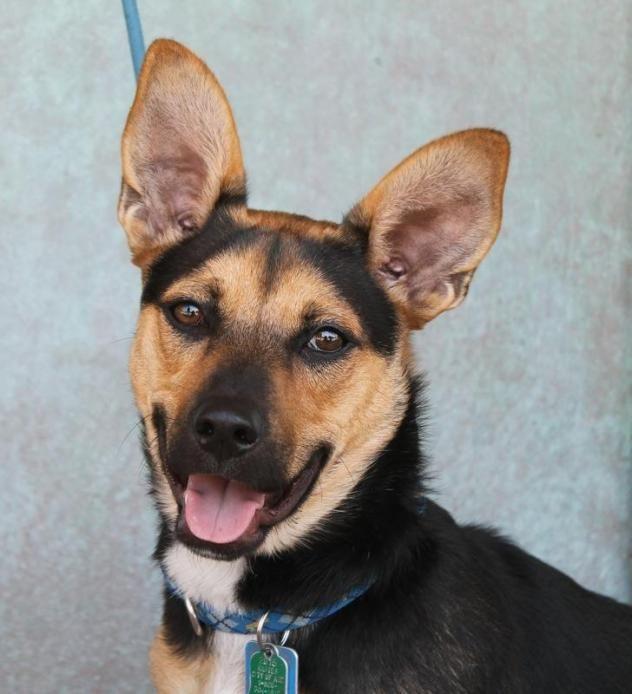 Adopt Korgi Aka Luffy On Petfinder Pet Search Shepherd Dog Mix