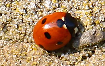 elfstippelig lieveheersbeestje (Coccinella undecimpunctata)