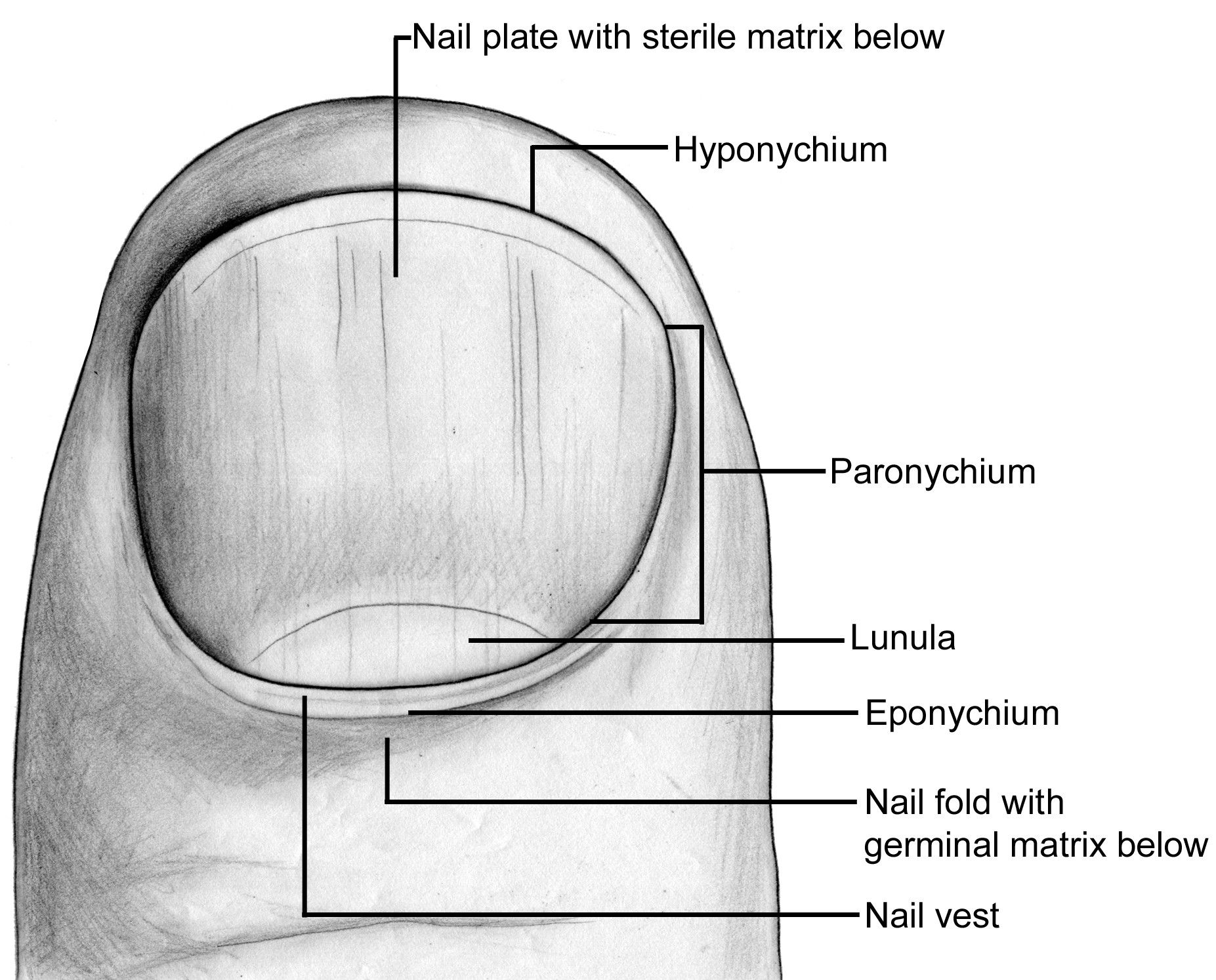 From Assh Figure 18 1 A Topographical View Of The Fingertip