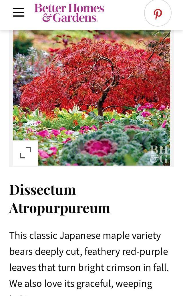 Pin by Rita W. Williams on Shrubs & Trees Japanese maple