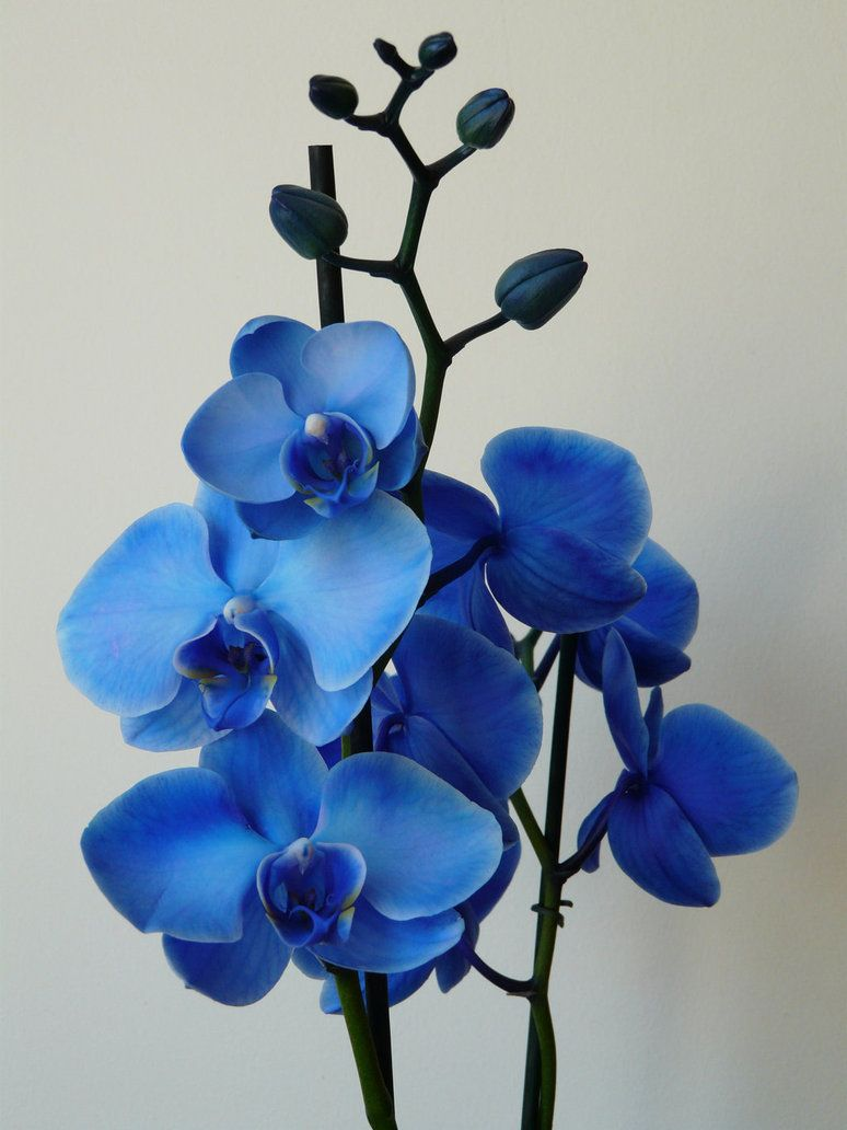 Blue Orchids Blue Orchid By Krsdeamon On Deviantart Orchids