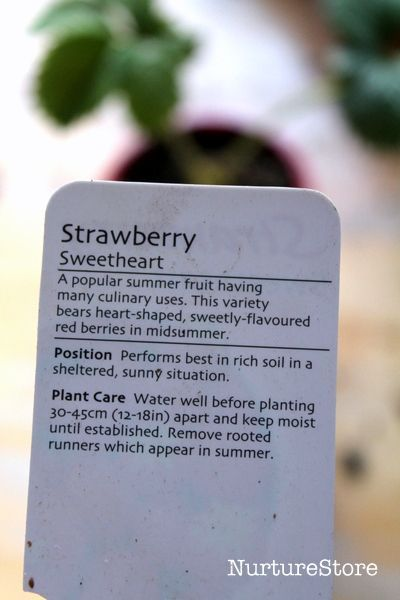 How to grow strawberries in containers for a taste test #growingstrawberriesincontainers growing strawberries in containers #growingstrawberriesincontainers How to grow strawberries in containers for a taste test #growingstrawberriesincontainers growing strawberries in containers #growingstrawberriesincontainers