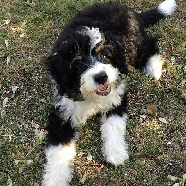 Harper Is The Cutest Puppy Yeg Edmonton Bernedoodle Puppy