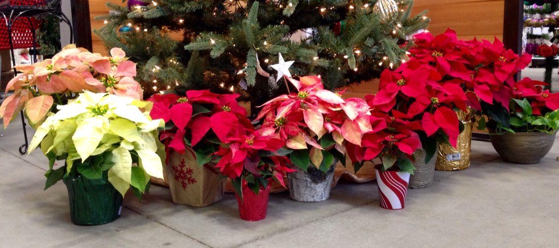 So Many Poinsettia Choices Garden Center Displays Seasonal