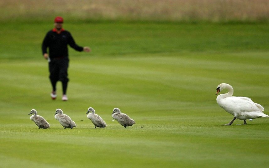 Sweden's Joel Sjoholm has to contend with a family of swans on the fairway during the final of the International Golf Open in Pulheim near Cologne