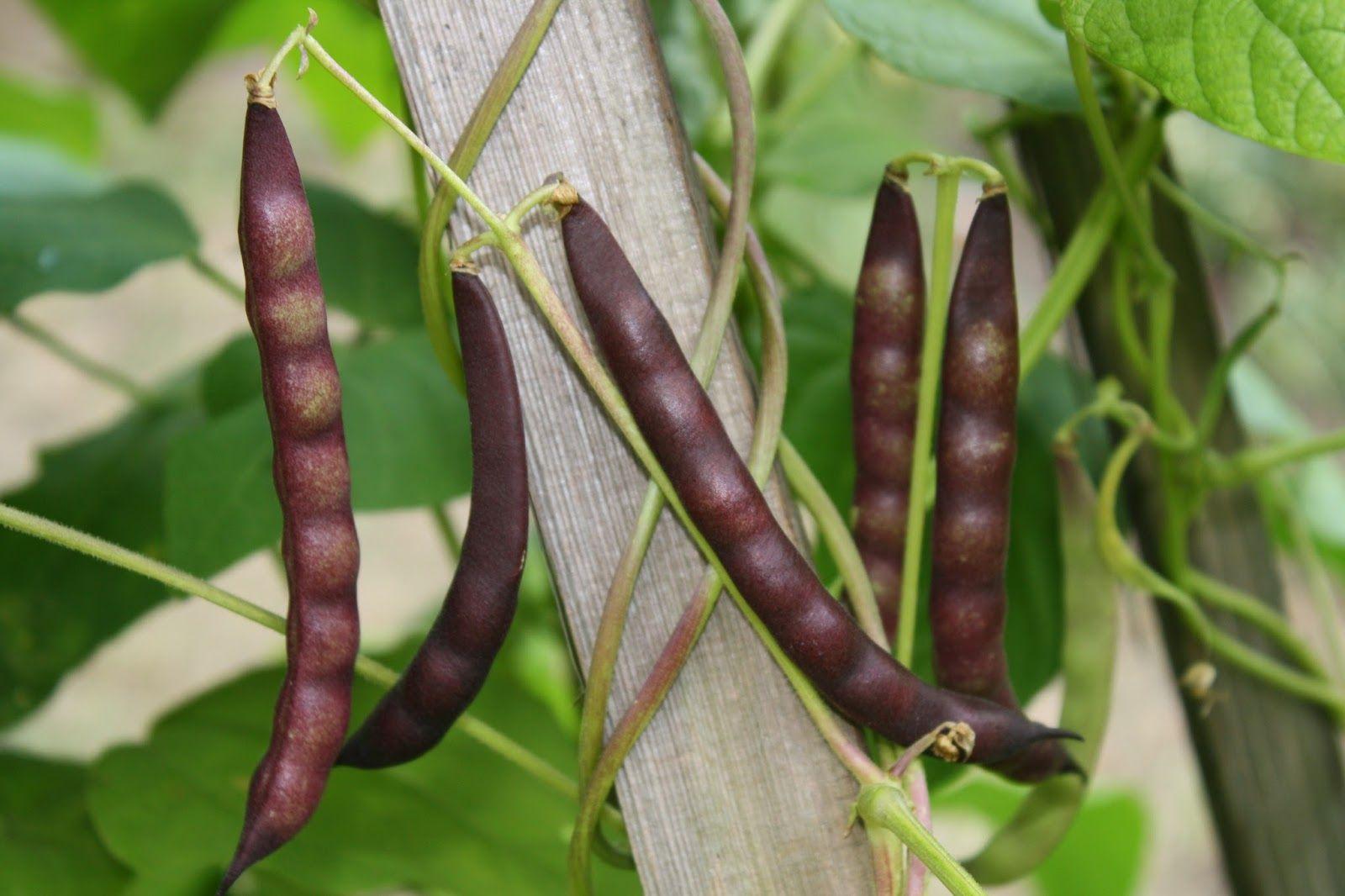 Organic Black Beans Black Turtle Beans Farm Seed Vegtable Garden