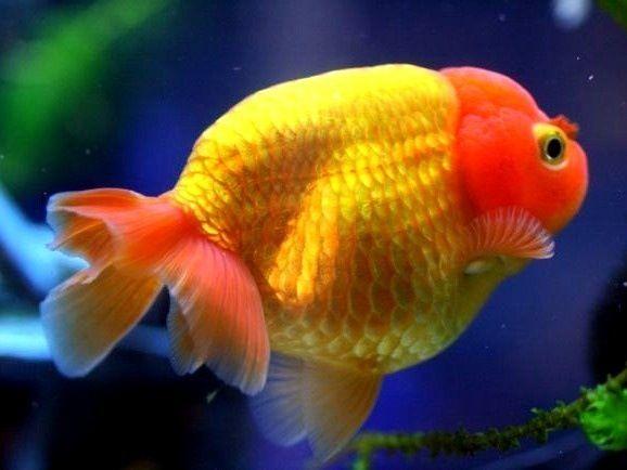 Ranchu Gold Fish 216