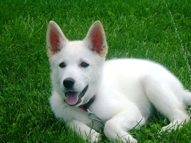White German Shepherd Puppies For Sale In Pa Cute Puppies