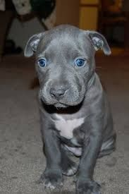 Grey Pitbull Puppy Google Search Pit Puppies Pitbull Puppies