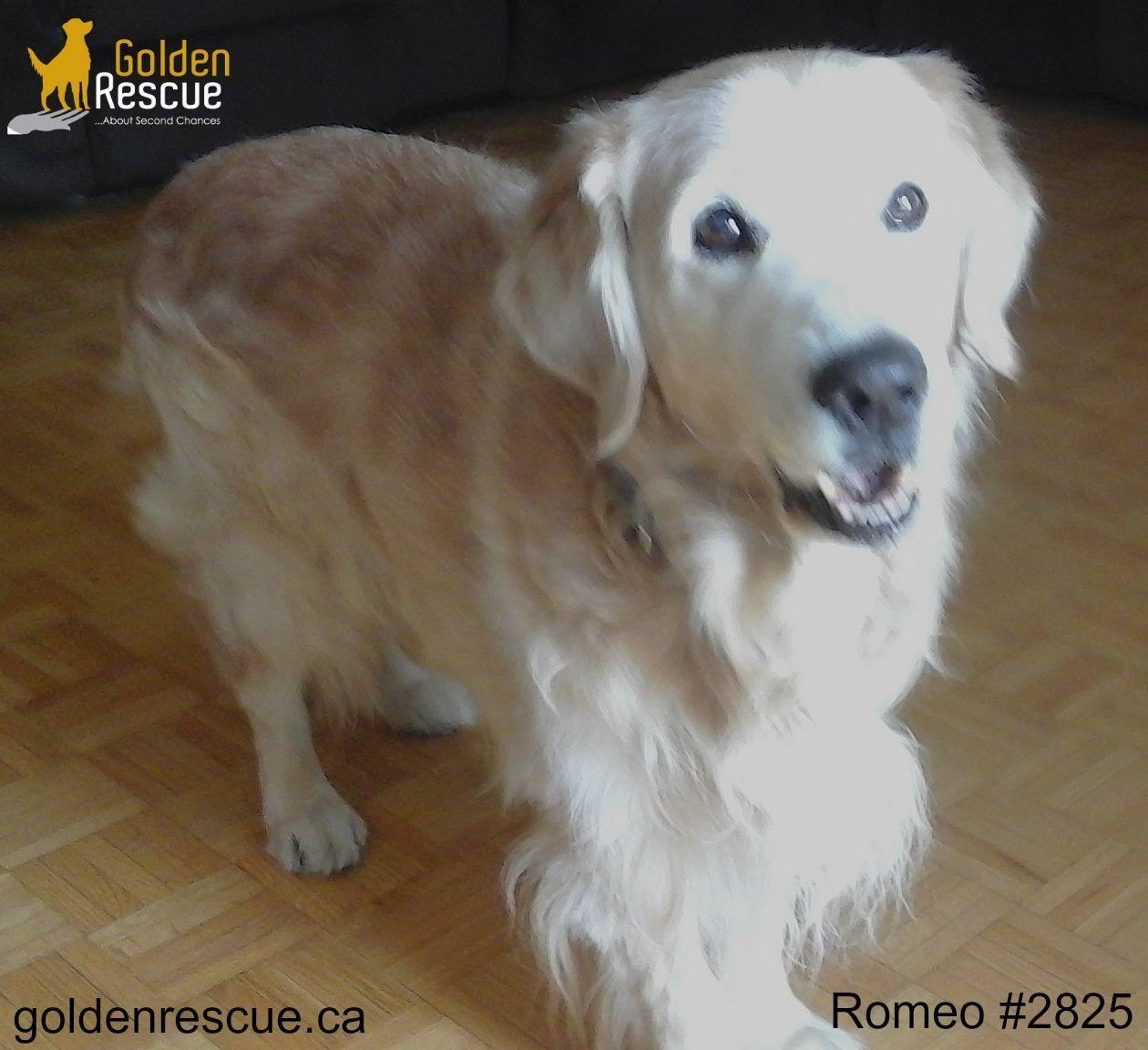 Available For Adoption Romeo 2825 O Romeo Romeo Wherefore Art