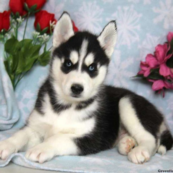 Siberian Husky Puppies For Sale Husky Puppies For Sale Siberian