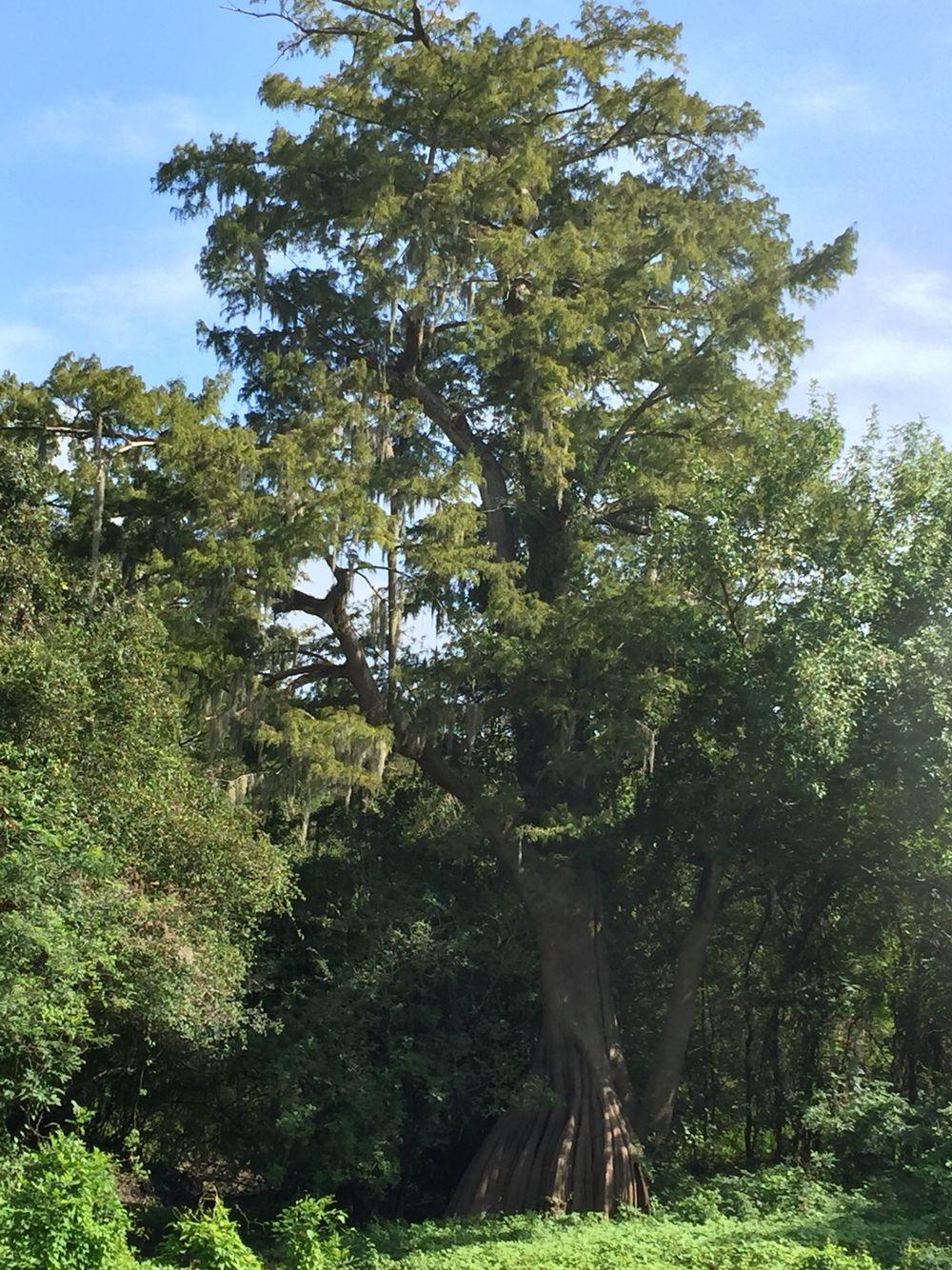 Cypress, hackberry and oaks in swamp bottom backwater of