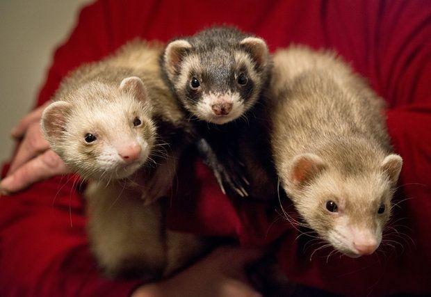 Debbie Brayek's three pet ferrets