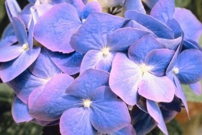 How To Grow Hydrangea Gutges Mathilda In A Pot Growing