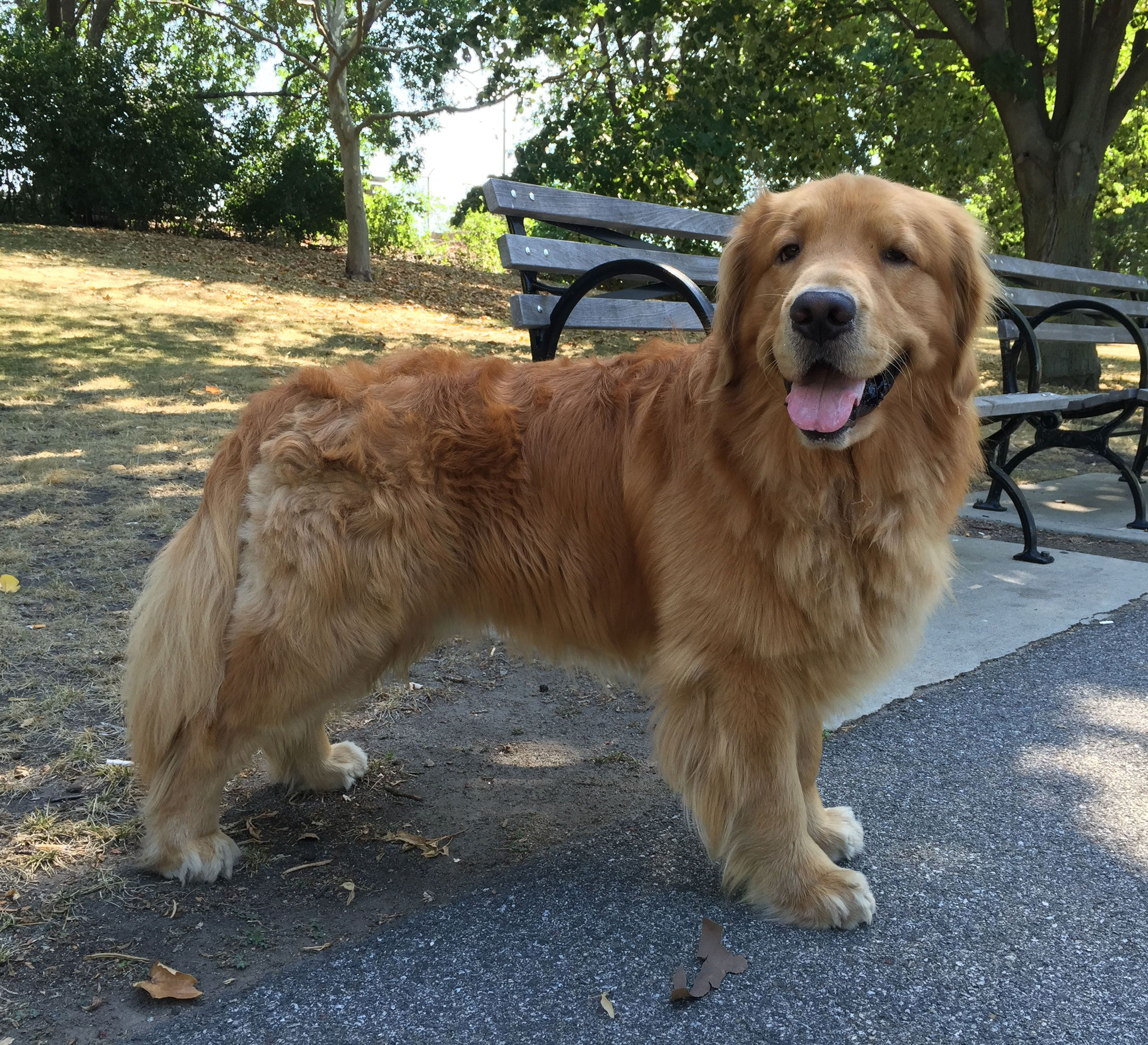 Majestic 2 Year Old Golden Retriever Dog Dogs Golden Retriever