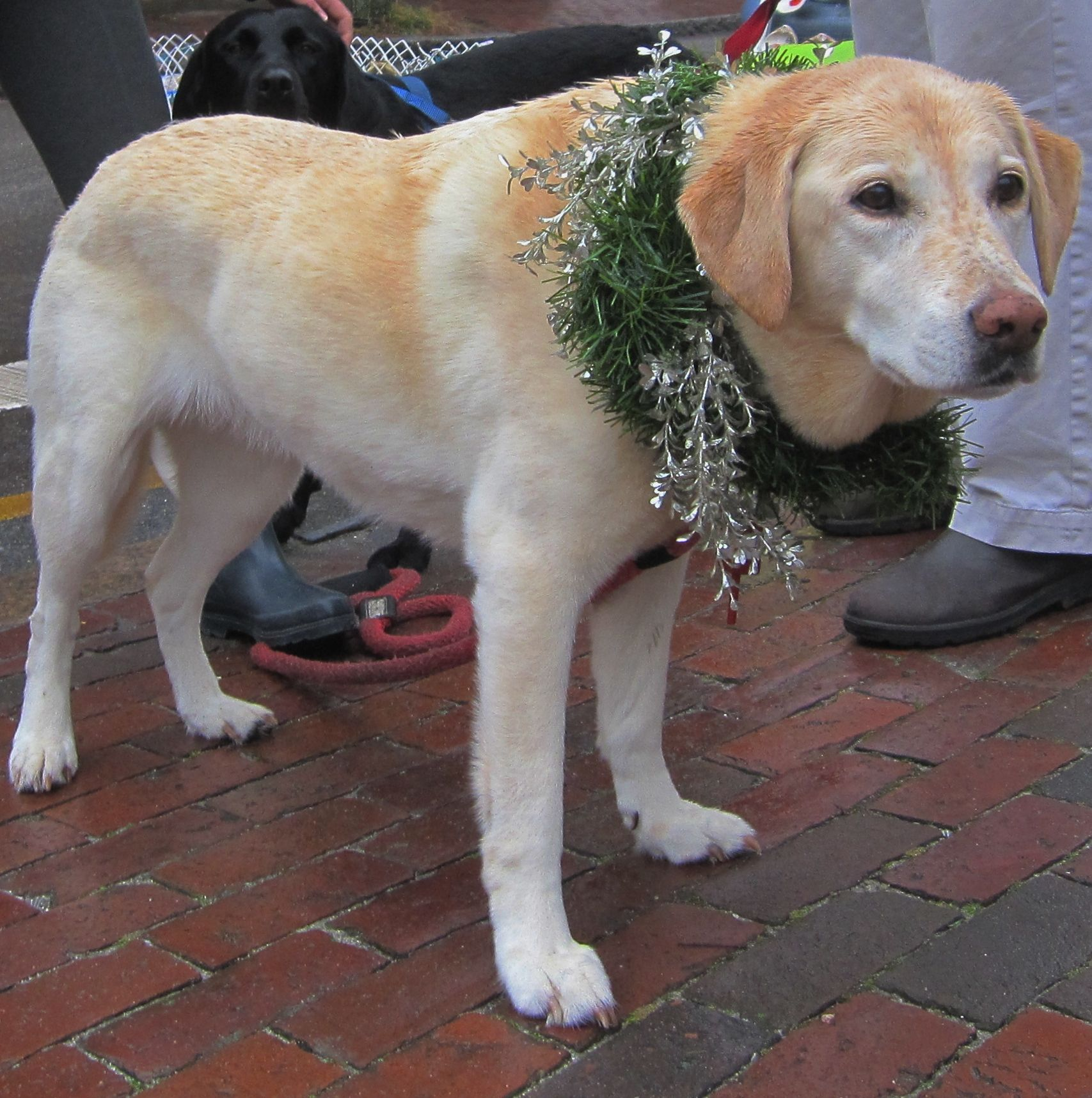 Pet Friendly Cape Cod Vacation Rentals: What An Adorable Christmas Stroll Pup!