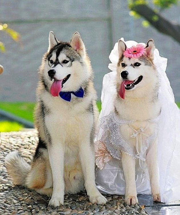 Dogs Who Are Totally In Love And Getting Married Dog Wedding