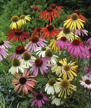 Paradiso Mix Echinacea Seeds And Plants Perennial Flowers At Burpee Com Flowers Perennials Long Blooming Perennials Planting Flowers
