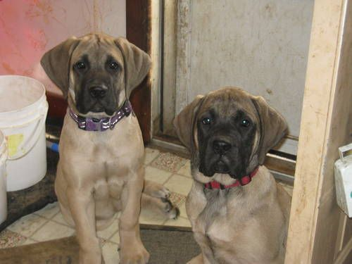 Akc English Mastiff Puppies 13 Weeks Old English Mastiff Puppies