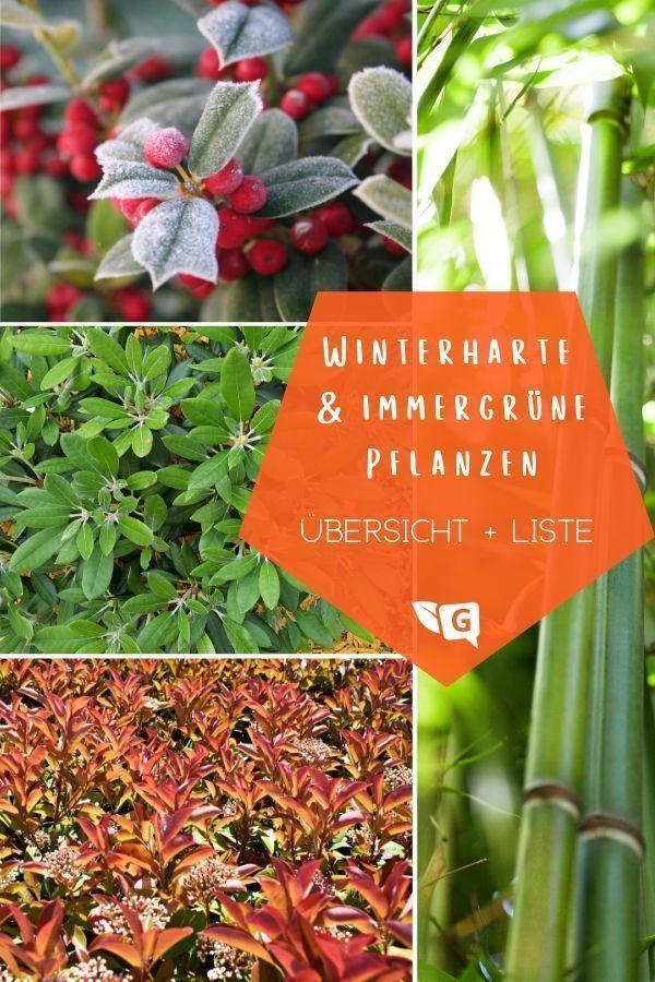 Winterhartepflanzen Ambientewinterharte Kletterpflanzen Gartendialog De Gartendialogde Winterharten Winterharte Bode Red Peppercorn How To Make Healing