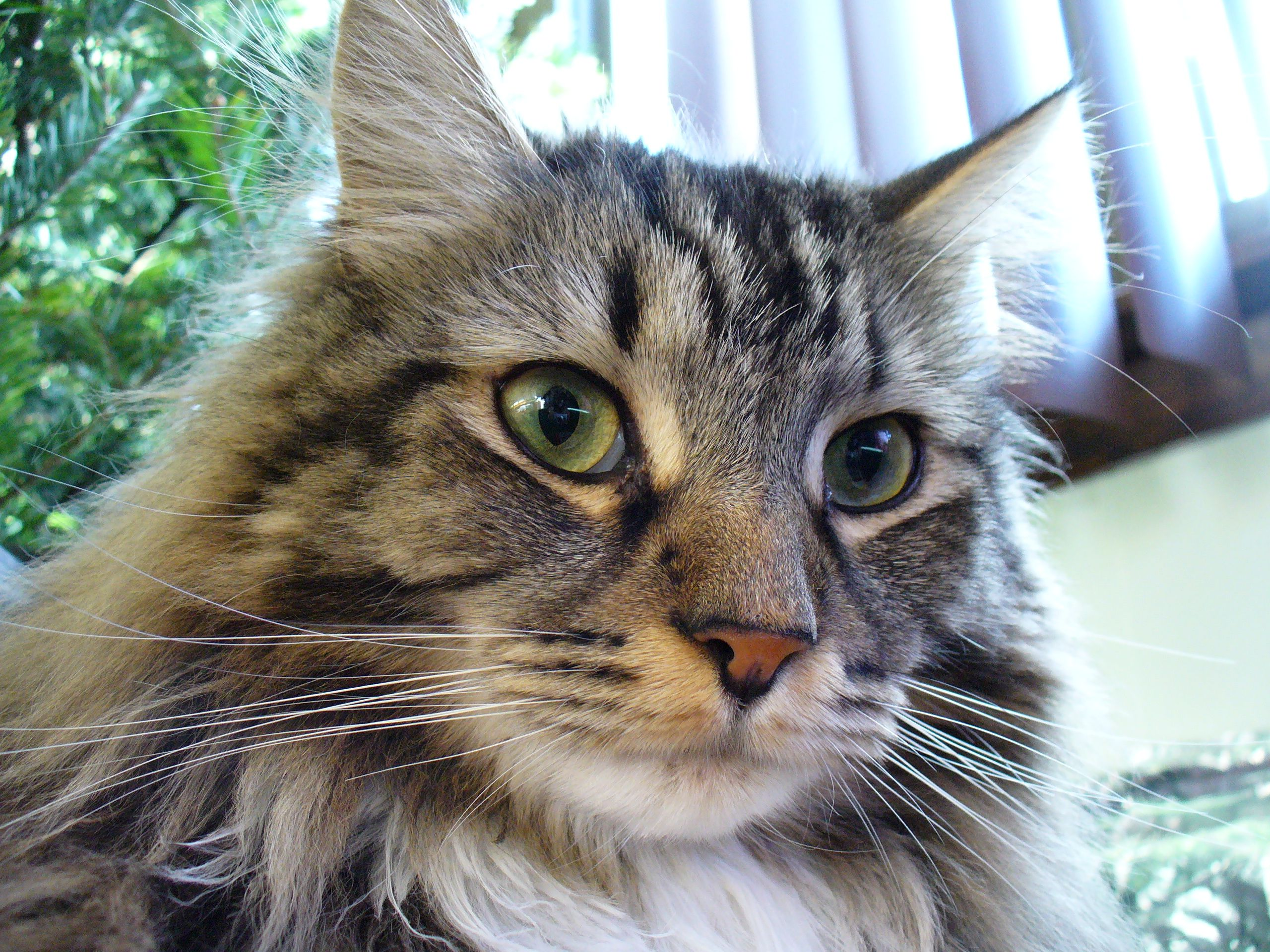 Adopting a Maine Coon from a Shelter vs Buying from a Breeder