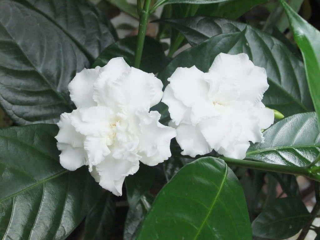 Double Flowering Crape Jasmine Stock Flower Images Pinterest