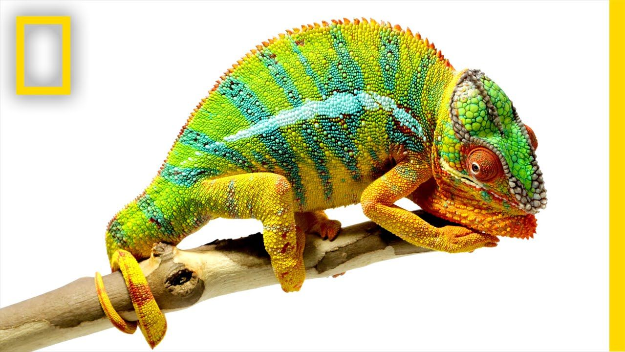 9 Worst Pet Reptiles For Beginners Chameleon Pet Veiled