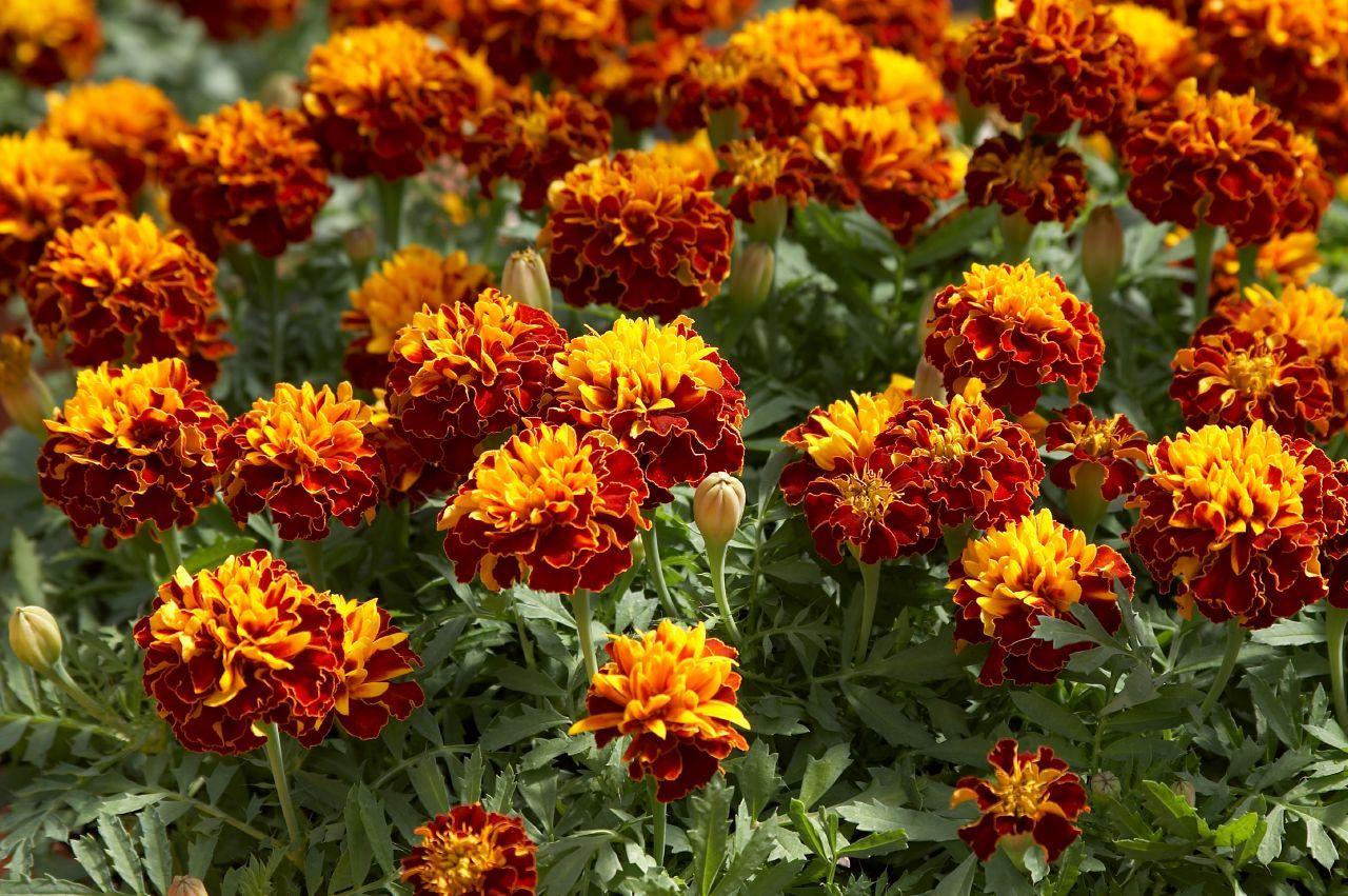 tagetes-patula flowers