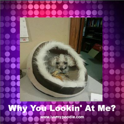 Its A Poodle Pod Poodle Decor Funny