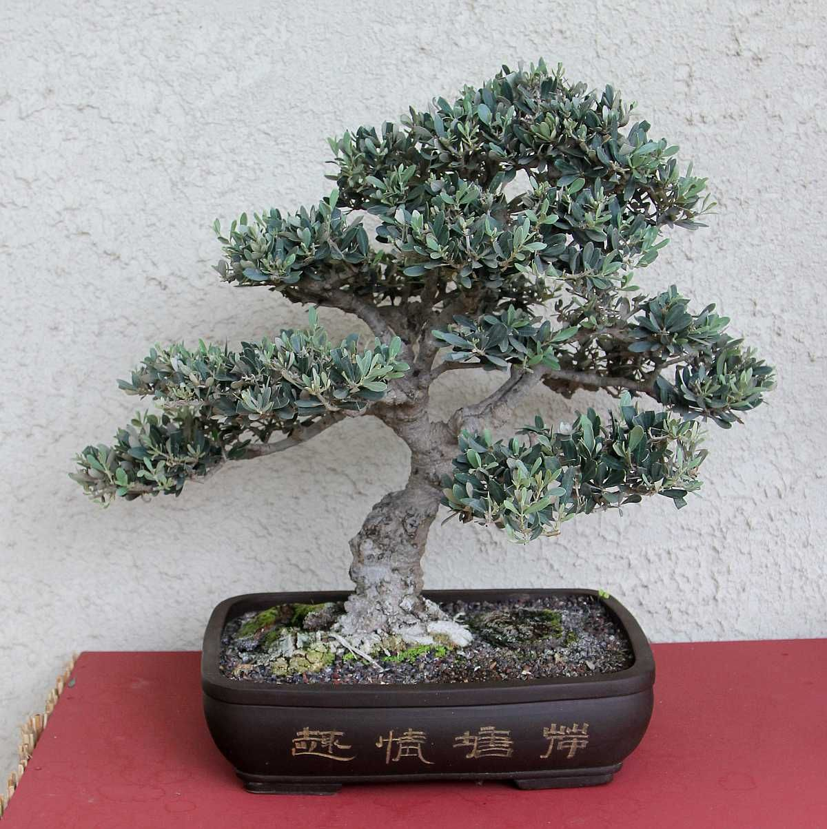 bonsai trees Olive 35 years old
