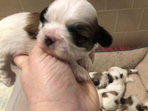 Litter Of 6 Shih Tzu Puppies For Sale In North Dartmouth Ma Adn