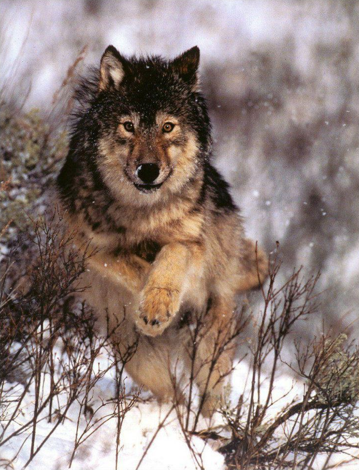 The world of wolves Photo Wolf photos, Wild wolf, Wolf