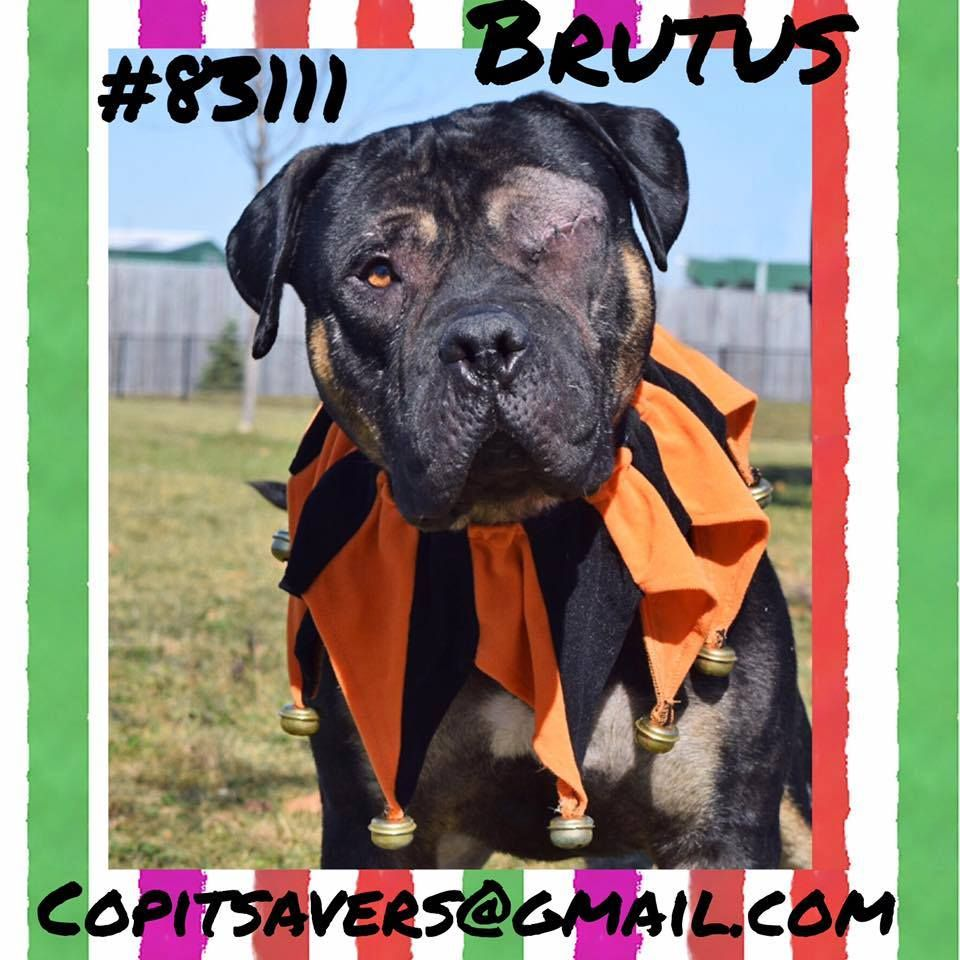 Urgent 83111 Brutus Rescue Only Has Until 5 8 Cops Central Ohio Pit Savers Columbus Ohio Needs Rescue Rs Animal Rescue Animals Rescue