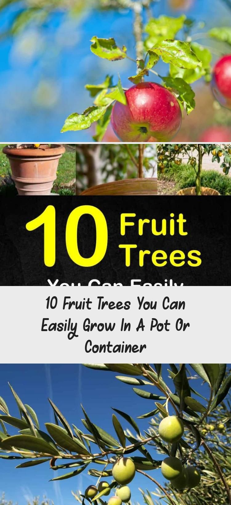 10 Fruit Trees You Can Easily Grow In A Pot Or Container Containergardeningtexas Verticalcontainerga Fruit Trees Fruit Trees In Containers Fast Growing Trees