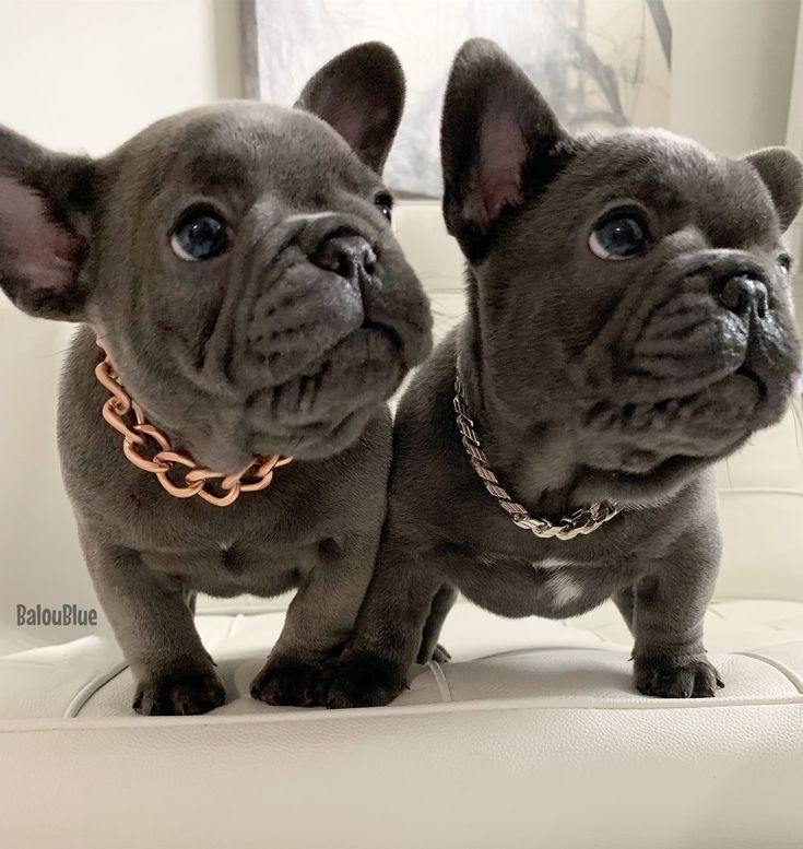 Micro Bully Puppies For Sale In Michigan 2021