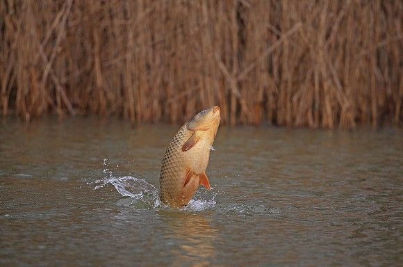 Why carp jump and what it means shaun harrison explains for Carp meaning