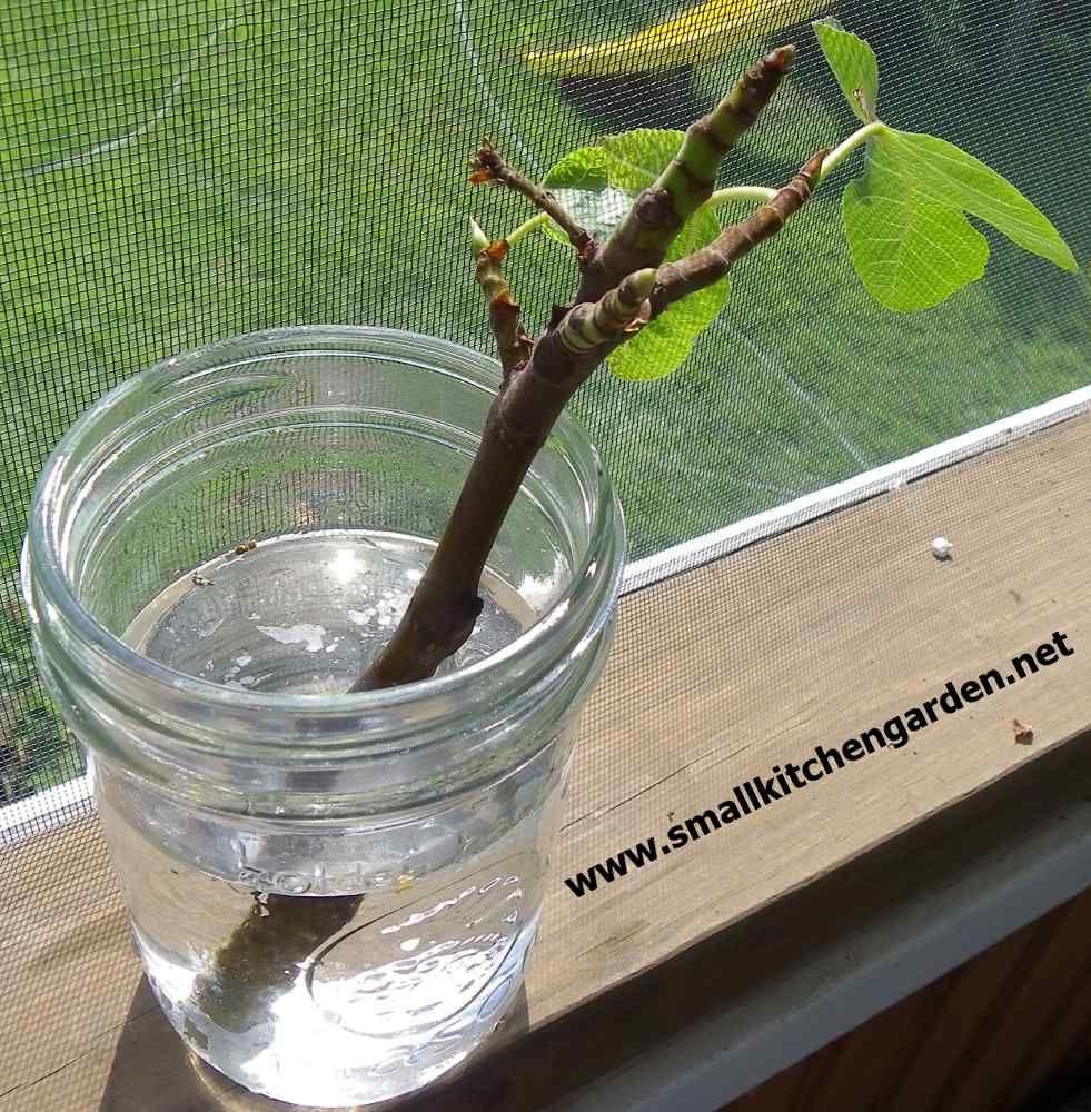 super simple, minimal investment Fig tree, Growing fig