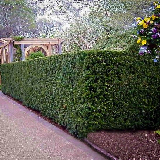 Hicks Yew Hedges Are The Best Shade Tolerant Evergreen Hedges You Can Choose They Grow Tall And Narrow Making Them Evergreen Hedge Hedges How To Grow Taller