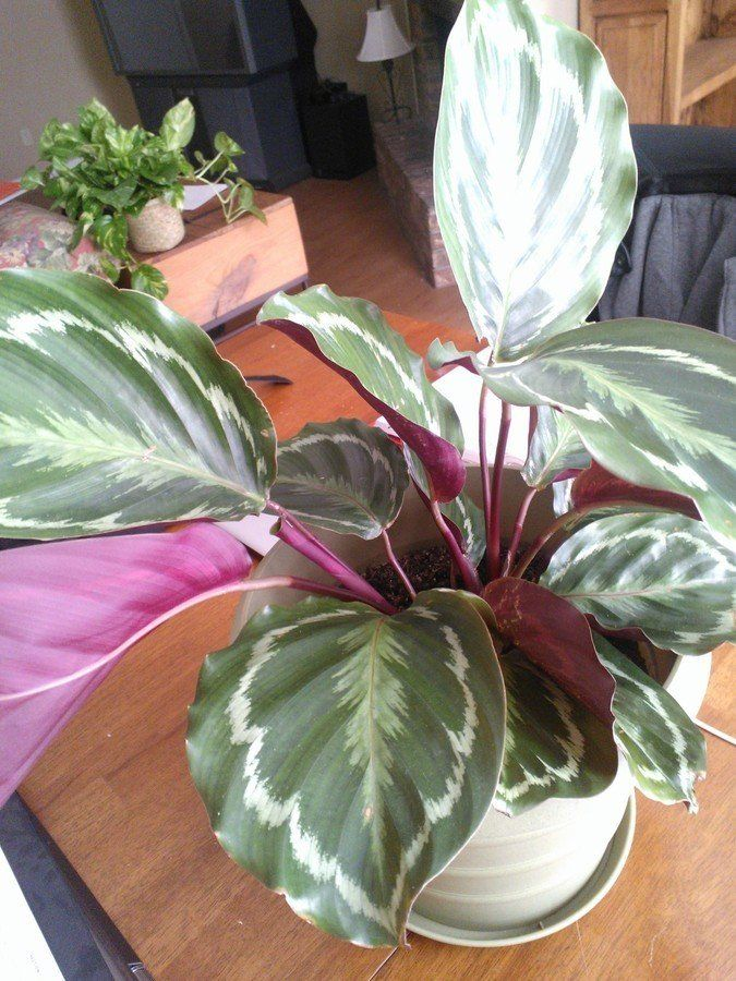Dark Green Houseplant With Red Purple Underside
