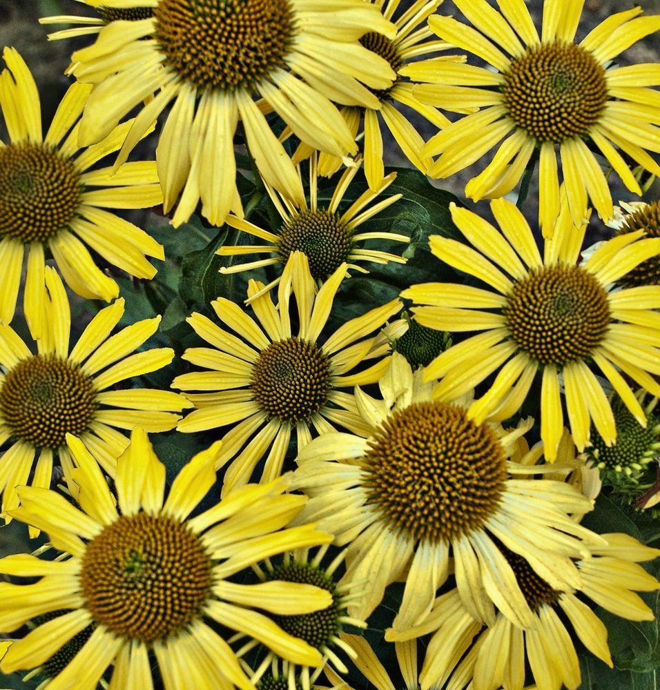 Echinacea Seeds Lemon Yellow Hybrid Perennial Medicinal Herb