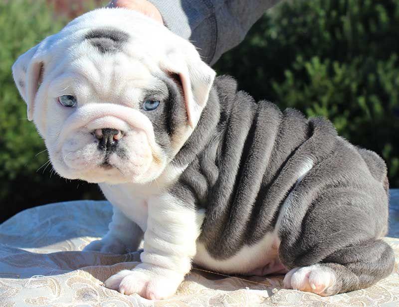 Pin By Hunter Ljunggren On Bulldog Life Puppies Cute Baby