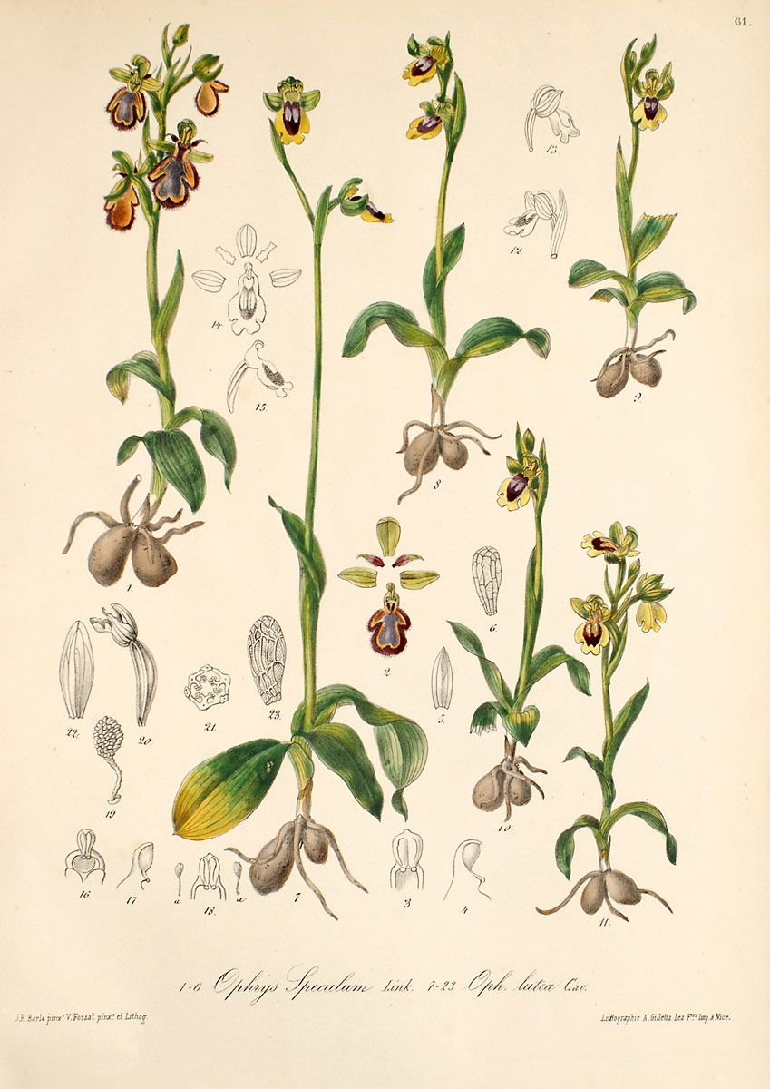 Ophrys speculum y O. lutea