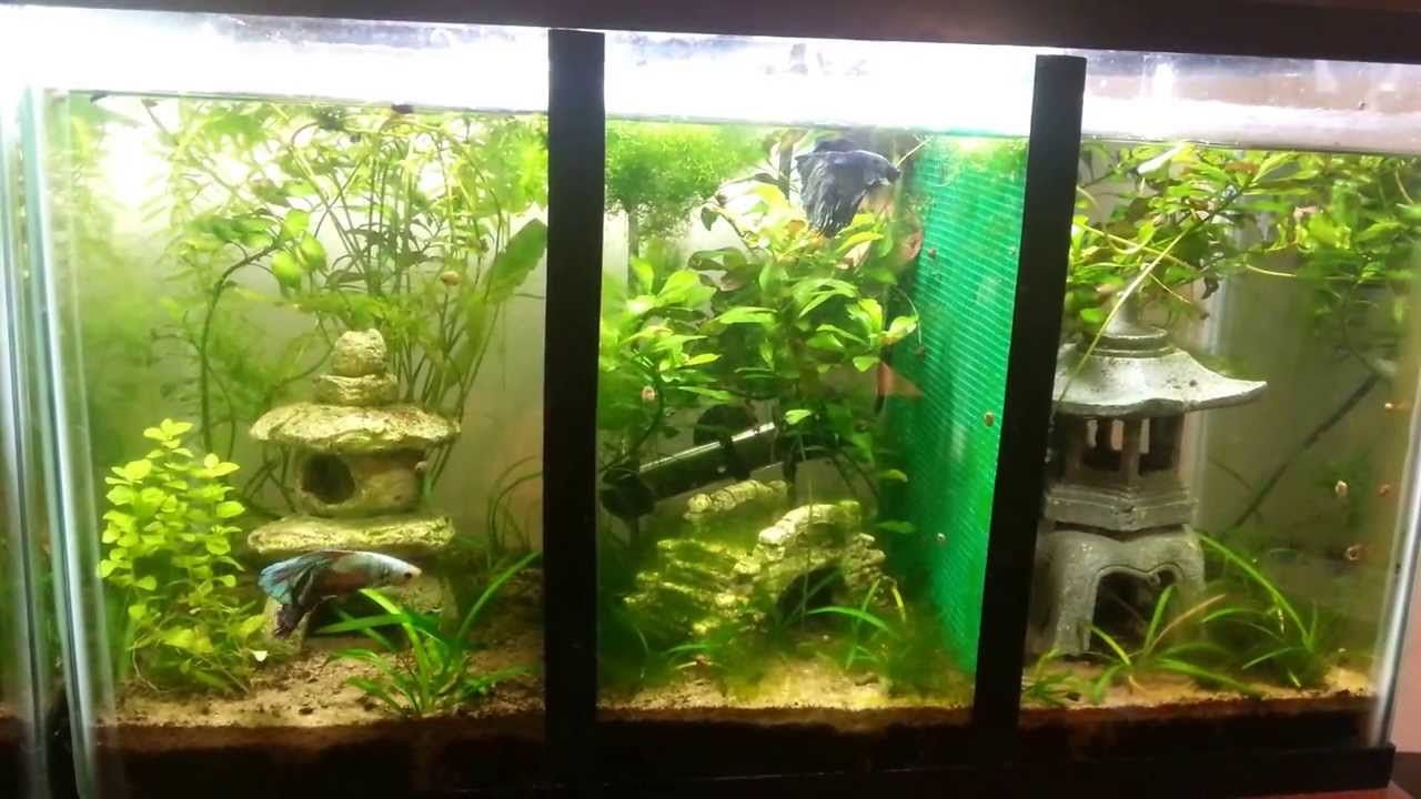 10 Gallon Tank Divided In 3 Parts Good Betta Tank Live Plants 10 Gallon Fish Tank Cool Fish Tanks Betta Tank