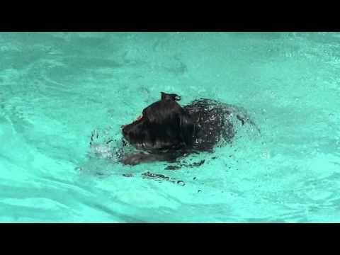 Dog dives for frisbee