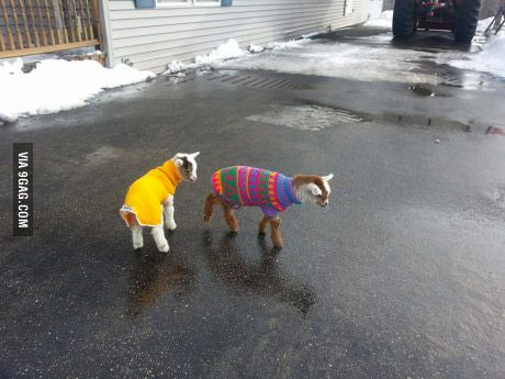 Friend just had baby goats, and he got sweaters for them.