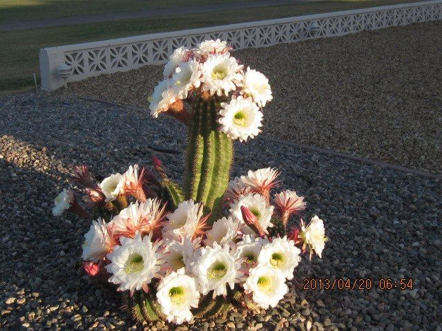 A cactus brightens it's neighborhood.
